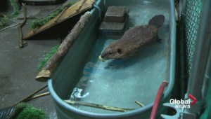 Sawyer the beaver needs a new pool