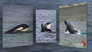 Marine experts are cautiously optimistic about B.C. resident orcas