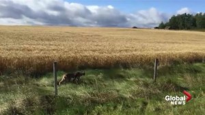 Lynx roaming through central Alberta farmer's field