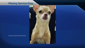 'I'm really stressed out, really worried about her': Woman pleads for service dog's safe return