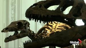 Two dinosaur skeletons reconstructed ahead of Paris auction