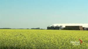 China says it blocked canola shipments from Winnipeg over fear of 'harmful organisms'
