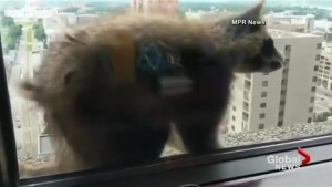 A daredevil raccoon captures  the world's attention