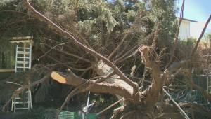 The central Okanagan begins big cleanup after a big windstorm caused wide-spread damage