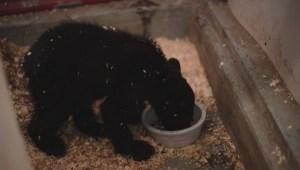Black bear cub hit by car is on the road to recovery