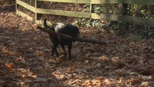 North Shore dogs die from suspected poison mushrooms