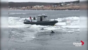Excavator frees dolphins trapped by ice in Newfoundland harbour