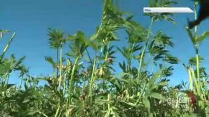 'It won't even get a fly high': Sask. farmer on people comparing hemp to marijuana