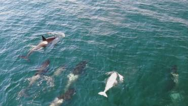 Image result for VIDEO: Footage of rare white orca captured by drone near Campbell River