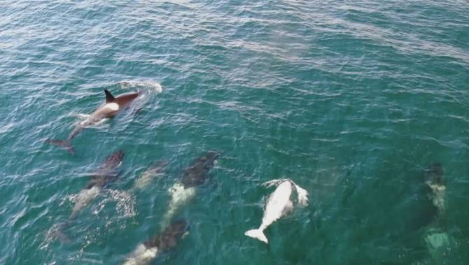 New drone footage offers clearest look yet at B.C.'s rare white orca