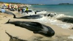 More than 150 whales found beached in Australian bay, few survive