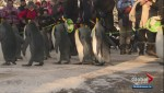 Calgary Zoo penguins waddle their way through first weekend walk of the year