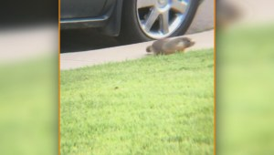 Calgary family wonders why B.C. marmot is living in their car