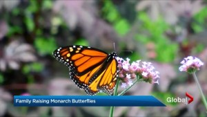Raising Monarch butterflies in your own home