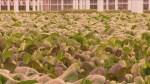 Southern Alberta greenhouse feeding romaine lettuce demand