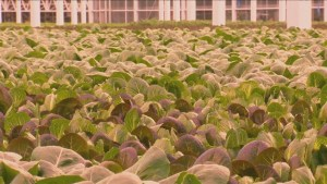 Southern Alberta greenhouse feeding romaine lettuce demand