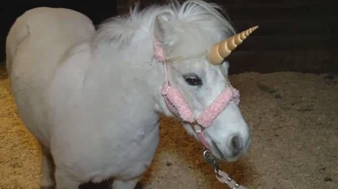 Runaway Unicorn Escapes From Photo Shoot Caught By