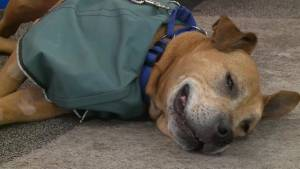 Adopt a Pet: Ruckus the Shar Pei Mix