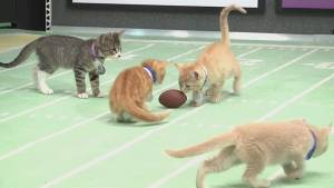 Cuteness and claws collide in Kitten Bowl III