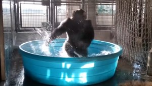 Video captures breakdancing gorilla's pure joy of being in kiddie pool