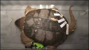 Turtle Trauma Centre in Peterborough urges Ontario drivers to be careful
