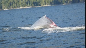 Raw: Rescuers work to save juvenile humpback trapped in B.C. fish farm anchor line