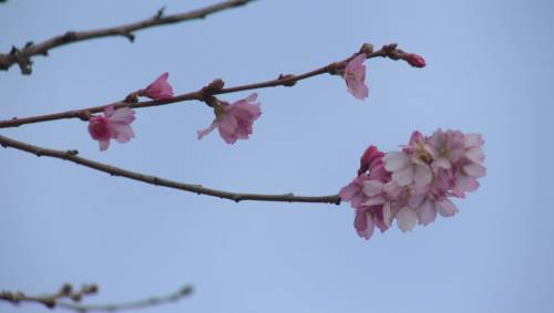 vancouver cherry blossoms in full bloom watch news. Black Bedroom Furniture Sets. Home Design Ideas