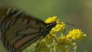 Monarch butterflies (01:54)