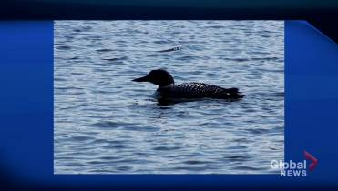 Tracking the loon population at Prince Albert National Park