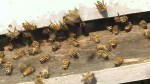 Long winter and pesticides taking it's toll on bee population