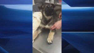 Puppy harmed in animal cruelty case now on the mend