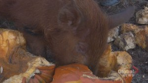 N.S. farmer using donated pumpkins to treat livestock