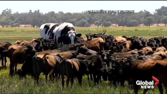 Massive cow named Knickers has been deemed too large to eat
