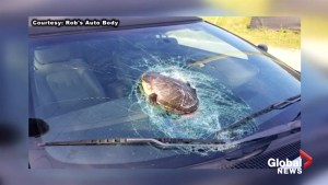 Flying turtle smashes into man's vehicle, shattering windshield while cruising down highway