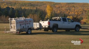 Grizzly bear caught near Calgary park to be released this weekend