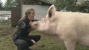 Langley animal protection society looking for forever home for 800-pound pig