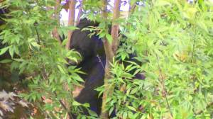 Bear stuck in tree behind Newmarket home