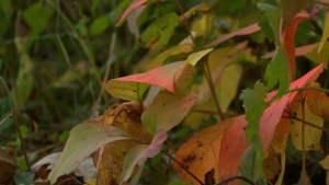 Poison ivy initiative in DDO sees plants painted orange