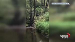 Facebook video shows bear wandering in Cochrane park