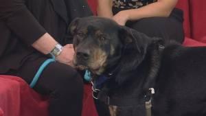 Adopt a pet: Mojo the Rottweiler-cross