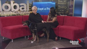 Adopt a pet: Mojo the Rottweiler-cross