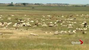 Goats, sheep chow down to help manage noxious weeds