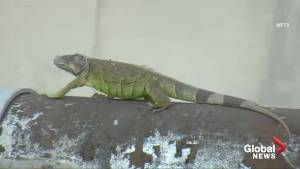 Horde of iguanas becoming a problem for South Florida residents