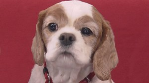 Adopt a Pet: Charlie the Cavalier King Charles Spaniel