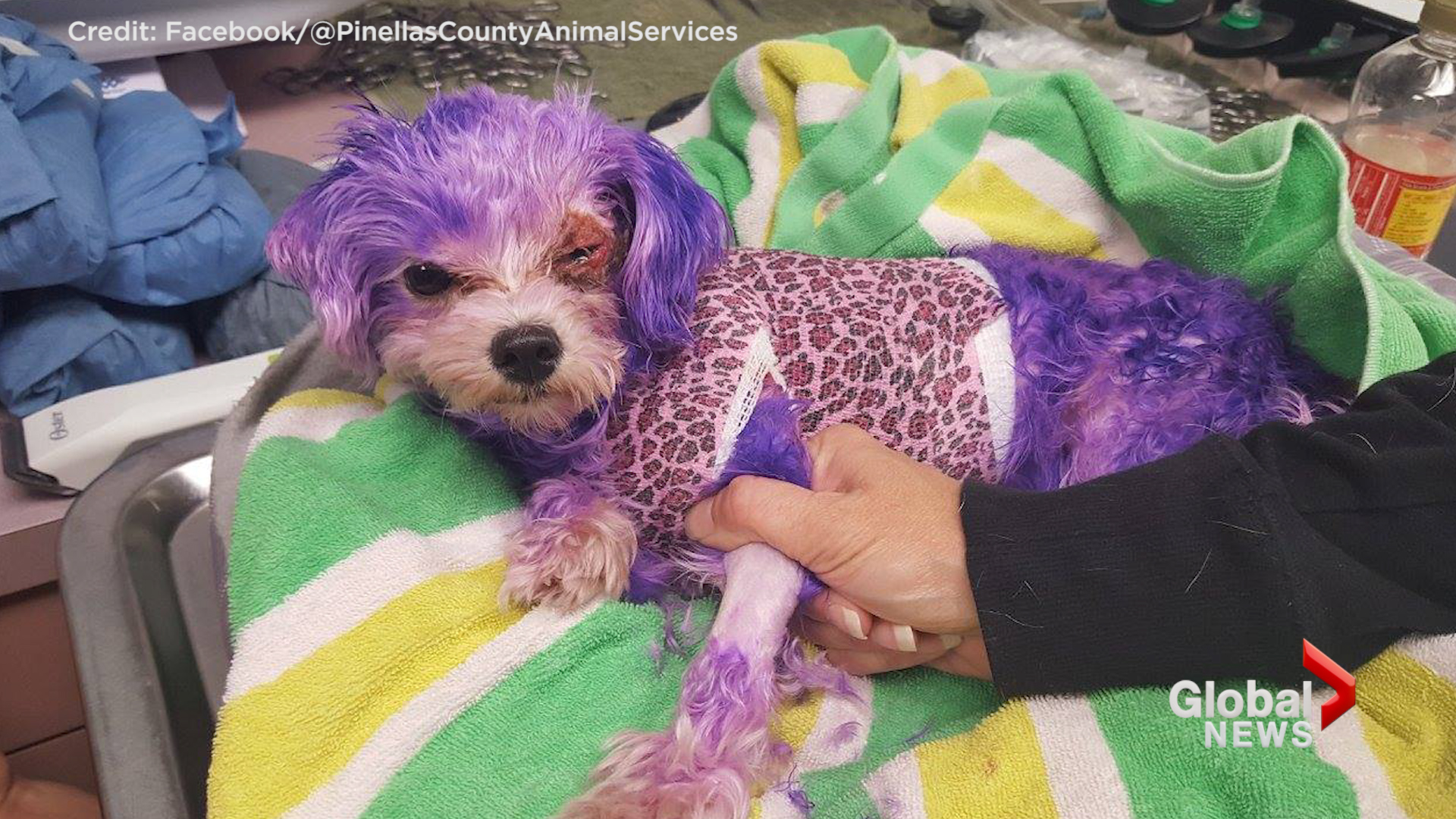 Dog almost dies from severe burns caused by human hair dye
