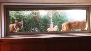 Curious bobcats caught peeking into B.C. home