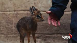 UK zoo adopts newborn antelope after its mother dies after giving birth