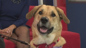 Adopt a Pet: Shelby The Chesapeake Bay Canine