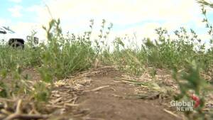 Dry conditions lead to concern for grazing cattle