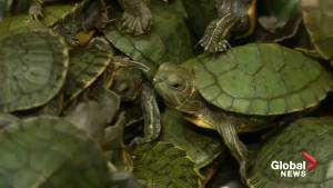 Malaysia seizes over 5,000 smuggled terrapins at airport